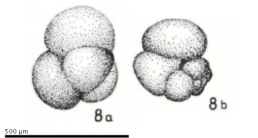 Catalog - Globigerinanus