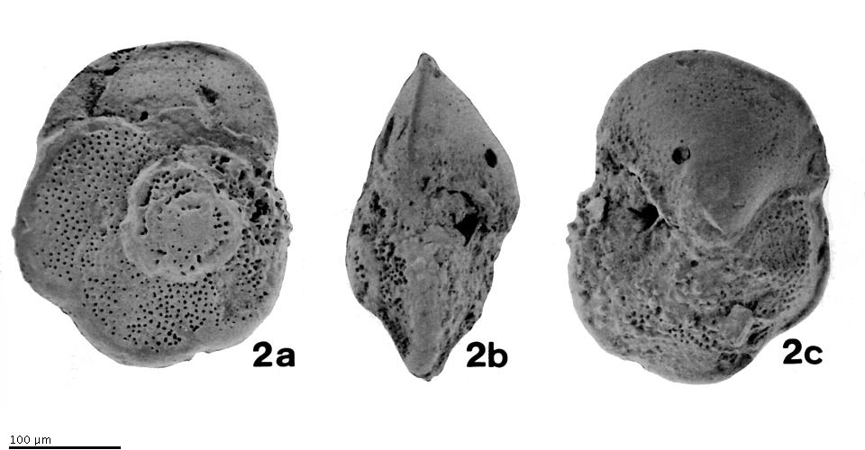 Catalog - Globorotalia (Globorotalia) iwaiensis