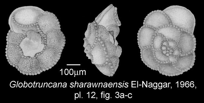 pforams@mikrotax - Globotruncana esnehensis