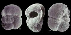 To Mikrotax (Globorotalia (Turborotalia) praeoscitans Akers 1972)