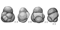 To Mikrotax (Globigerinita incrusta Akers 1955)