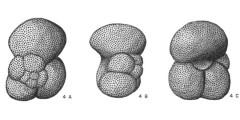 To Mikrotax (Globoquadrina Finlay 1947)