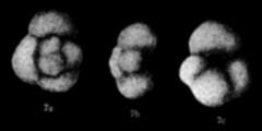To Mikrotax (Globigerinoides muratai Asano 1962)