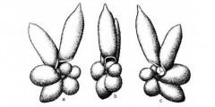 To Mikrotax (Hastigerina (Bolliella) adamsi Banner & Blow 1959)