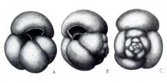 To Mikrotax (Globigerina pseudoampliapertura Blow & Banner 1962)