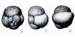 To Mikrotax (Globigerinita globiformis Blow & Banner 1962)