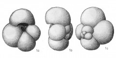 To Mikrotax (Globigerina bulloides d'Orbigny 1826)