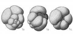 To Mikrotax (Globigerina dutertrei d'Orbigny 1839)