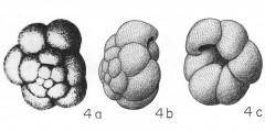 To Mikrotax (Globigerina eggeri Rhumbler 1901)