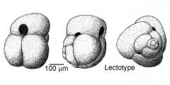To Mikrotax (Globigerina elongata d'Orbigny 1826)