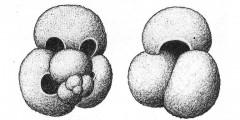 To Mikrotax (Globigerina rubra d'Orbigny 1839)