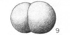 To Mikrotax (Globigerina bilobata d'Orbigny 1846)