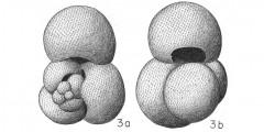 To Mikrotax (Globigerina quadrilobata d'Orbigny 1846)