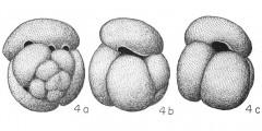 To Mikrotax (Globigerina conglobata Brady, 1879)