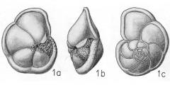 To Mikrotax (Pulvinulina)