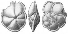 To Mikrotax (Rotalia)