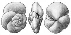 To Mikrotax (Pulvinulina scitula Brady 1882)