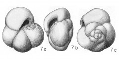 To Mikrotax (Globigerina puncticulata Deshayes 1832)