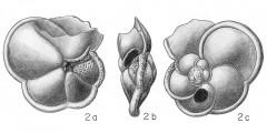 To Mikrotax (Rotalia menardii Parker, Jones, & Brady 1865after dOrbigny, 1826nomen nudum)