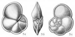 To Mikrotax (Rotalia nitida d'Orbigny, in Fornasini 1906)