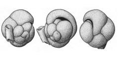 To Mikrotax (Pullenia sphaeroides var. obliquiloculata Parker & Jones)