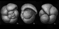 To Mikrotax (Pulleniatina Cushman 1927)