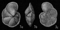 To Mikrotax (Globorotalia (Globorotalia))
