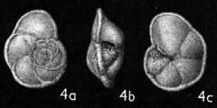 To Mikrotax (Globorotalia (Globorotalia) merotumida Blow & Banner in Banner & Blow 1965)