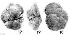 To Mikrotax (Globorotalia (Fohsella) Bandy 1972)