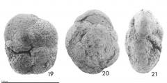 To Mikrotax (Globorotalia (Fohsella) wabagensis Belford 1984)