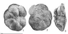 To Mikrotax (Globorotalia (Globorotalia) quasimiocenica Belford 1984)