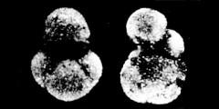 To Mikrotax (Sphaeroidinellopsis Banner & Blow 1959)