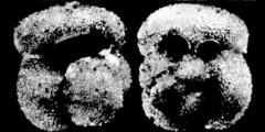 To Mikrotax (Globigerinoides canimarensis Bermúdez 1961)