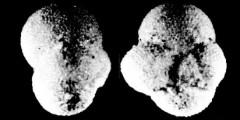 To Mikrotax (Globigerinoides suleki Bermúdez 1961)
