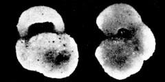 To Mikrotax (Globigerinoides fournieri Bermúdez 1961)