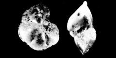 To Mikrotax (Globorotalia ungulata Bermúdez 1961)