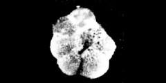 To Mikrotax (Pseudogloborotalia)