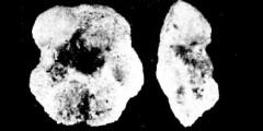 To Mikrotax (Pseudogloborotalia pasionensis Bermudez 1961)