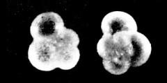 To Mikrotax (Turborotalia Cushman and Bermúdez, 1949)