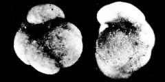 To Mikrotax (Turborotalia altispiroides Bermúdez 1961)