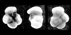 To Mikrotax (Globigerina colomi Bermudez 1961)