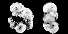 To Mikrotax (Globigerina scabrosa Bermúdez 1961)