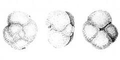 To Mikrotax (Globorotalia mineacea Bermúdez and Bolli 1969)