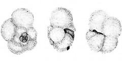 To Mikrotax (Globorotalia neominutissima Bermúdez and Bolli 1969)