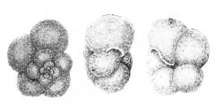 To Mikrotax (Globorotalia seigliei Bermúdez and Bolli 1969)