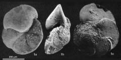 To Mikrotax (Globorotalia magnifica Bizon & Glacon 1978)