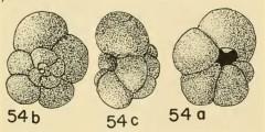 To Mikrotax (Globoquadrina pozonensis Blow 1959)