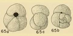 To Mikrotax (Globigerinoides bollii Blow 1959)