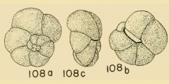 To Mikrotax (Globorotalia birnageae Blow 1959)