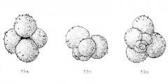 To Mikrotax (Globigerina eamesi Blow 1959)